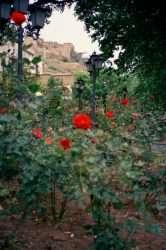 Tbillisi_Roses_1 by Ildar Iksanov