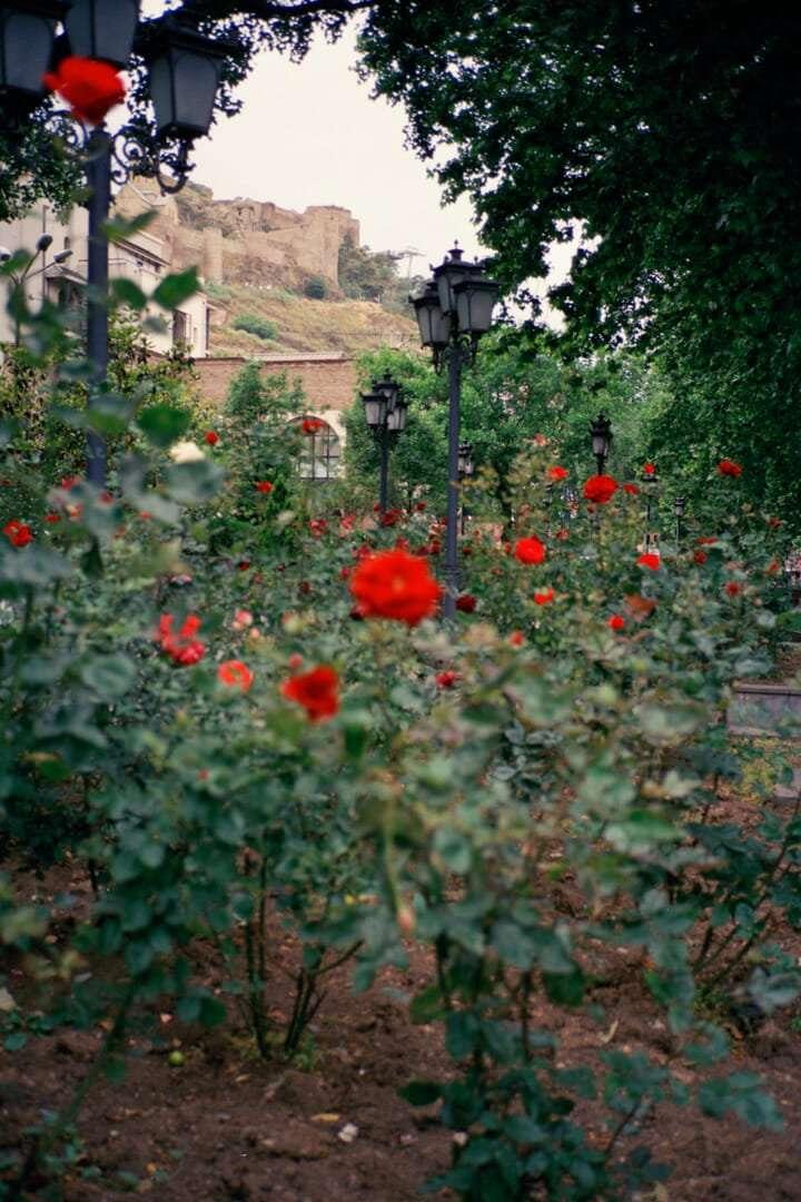 Tbillisi_Roses_1