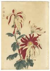 Keika Hasegawa - Shogindai, 1893 (From One Hundred Chrysanthemums Series)