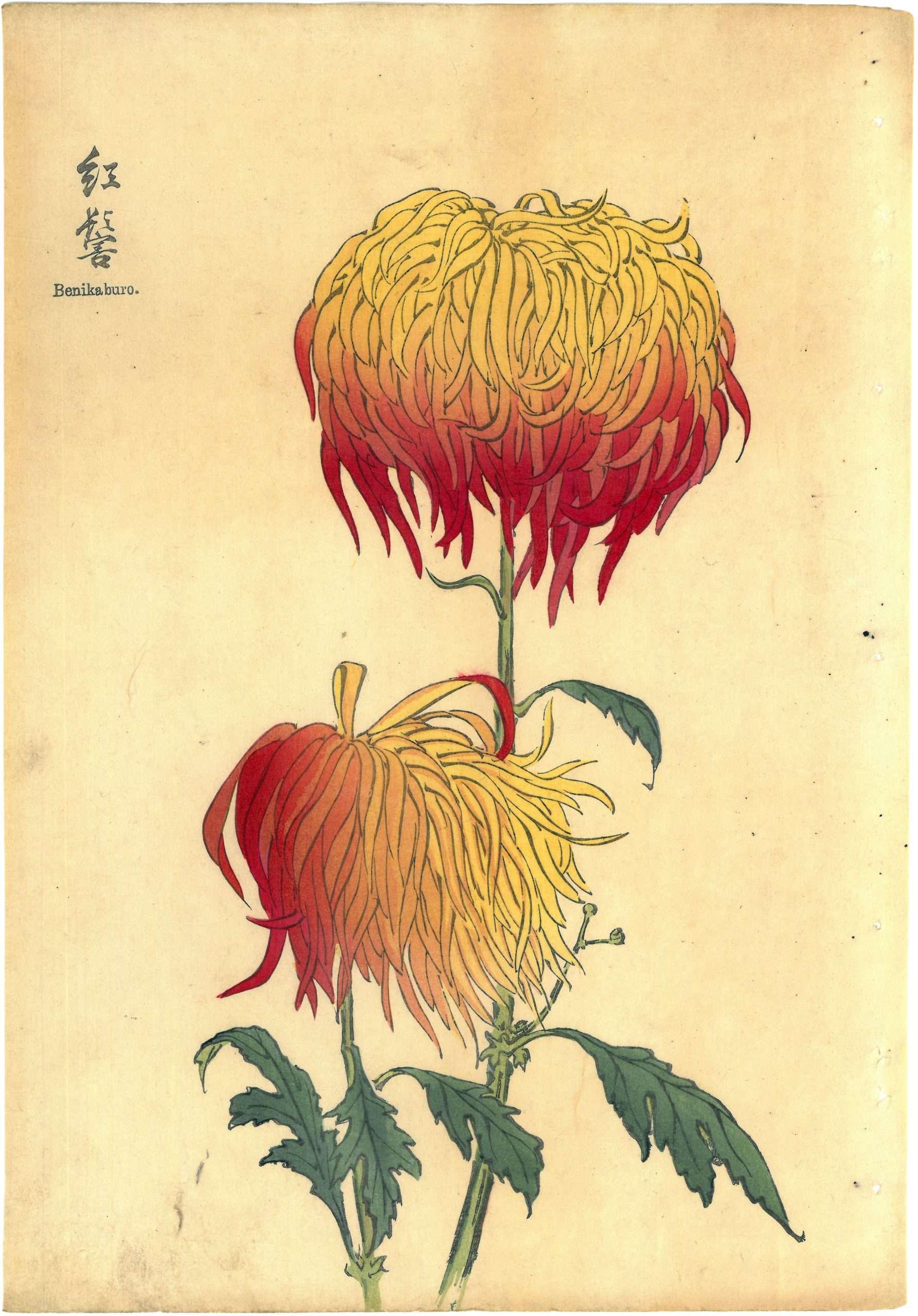 Keika Hasegawa – Benikaburo, 1893 (From One Hundred Chrysanthemums Series)