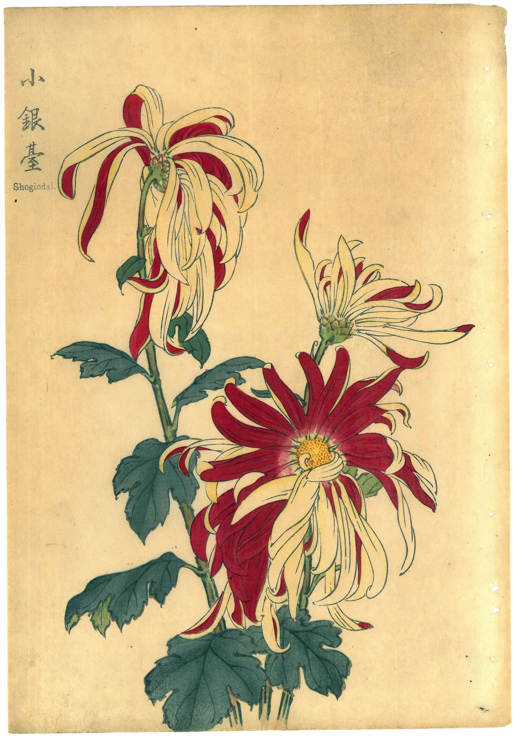 Keika Hasegawa – Shogindai, 1893 (From One Hundred Chrysanthemums Series)