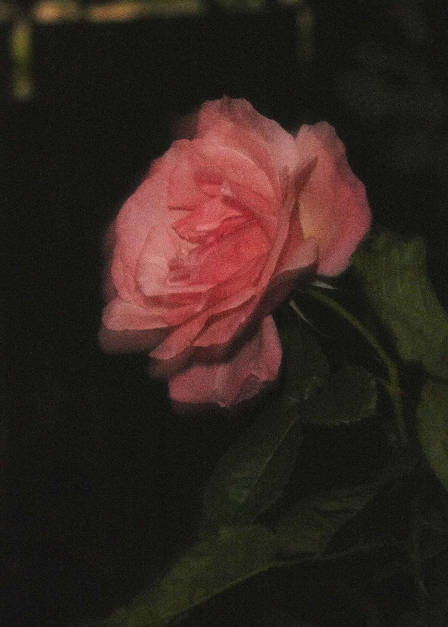 Rosa #1, 2020 C-Type print, 11 x 14 inches Edition of 5