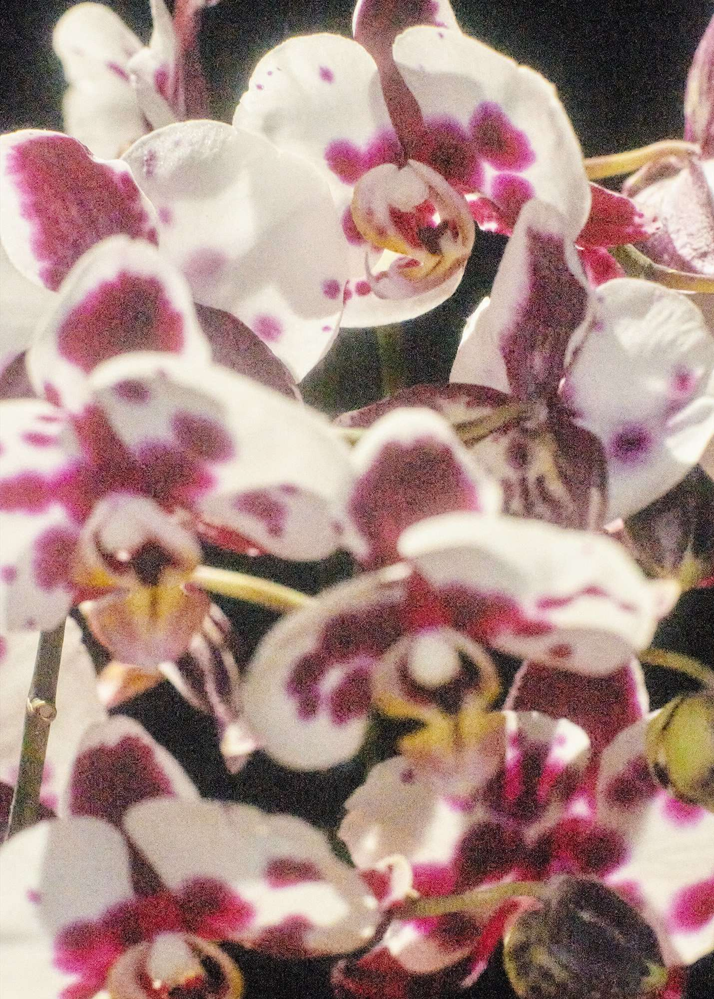Phalaenopsis #1, 2020 C-Type print, 11 x 14 inches Edition of 5